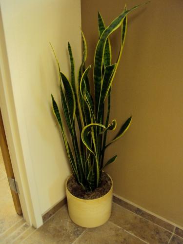 Sansevieria, or Snake plant
