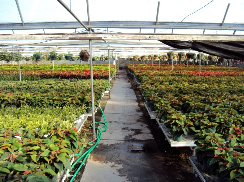 Wholesale greenhouse at the beginning of November