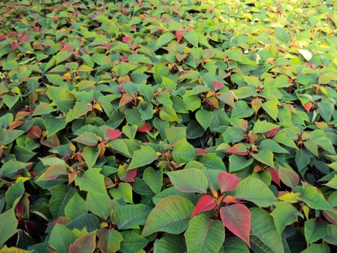 Poinsettias growing in November