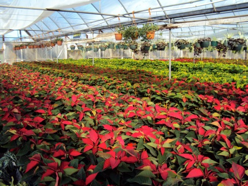 Mom-n-Pop greenhouse grows the prettiest Poinsettias in NM
