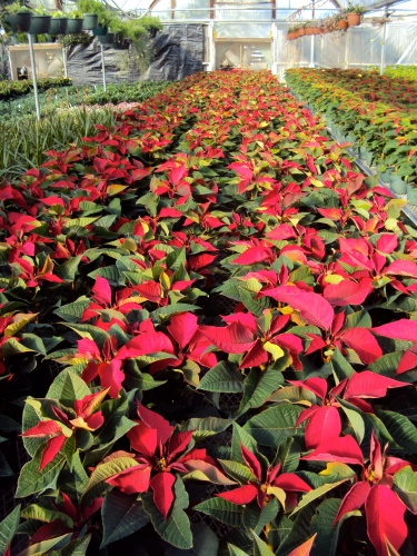 Poinsettias growing in Albuquerque wholesale greenhouse