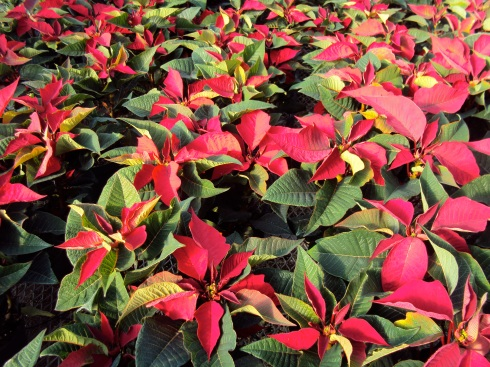 Poinsettias growing in early November