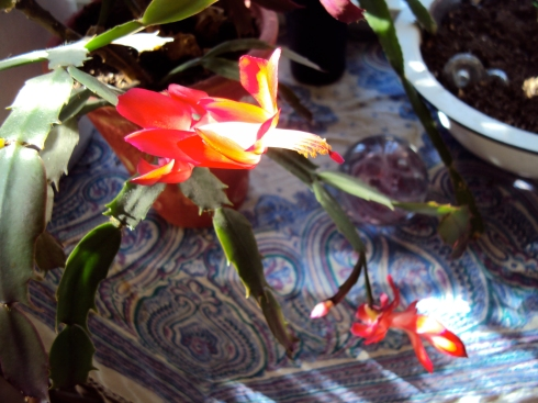 Easter the Christmas Cactus