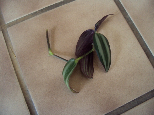 Wandering Jew cutting ready to be put in soil