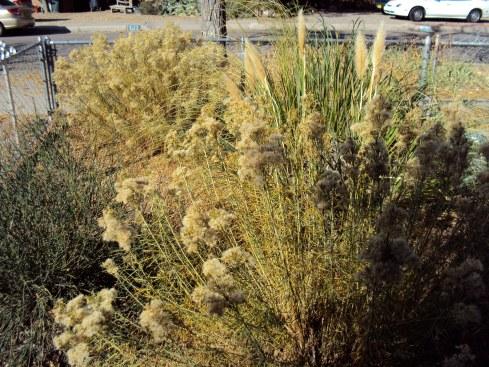 Overgrown desert front yard