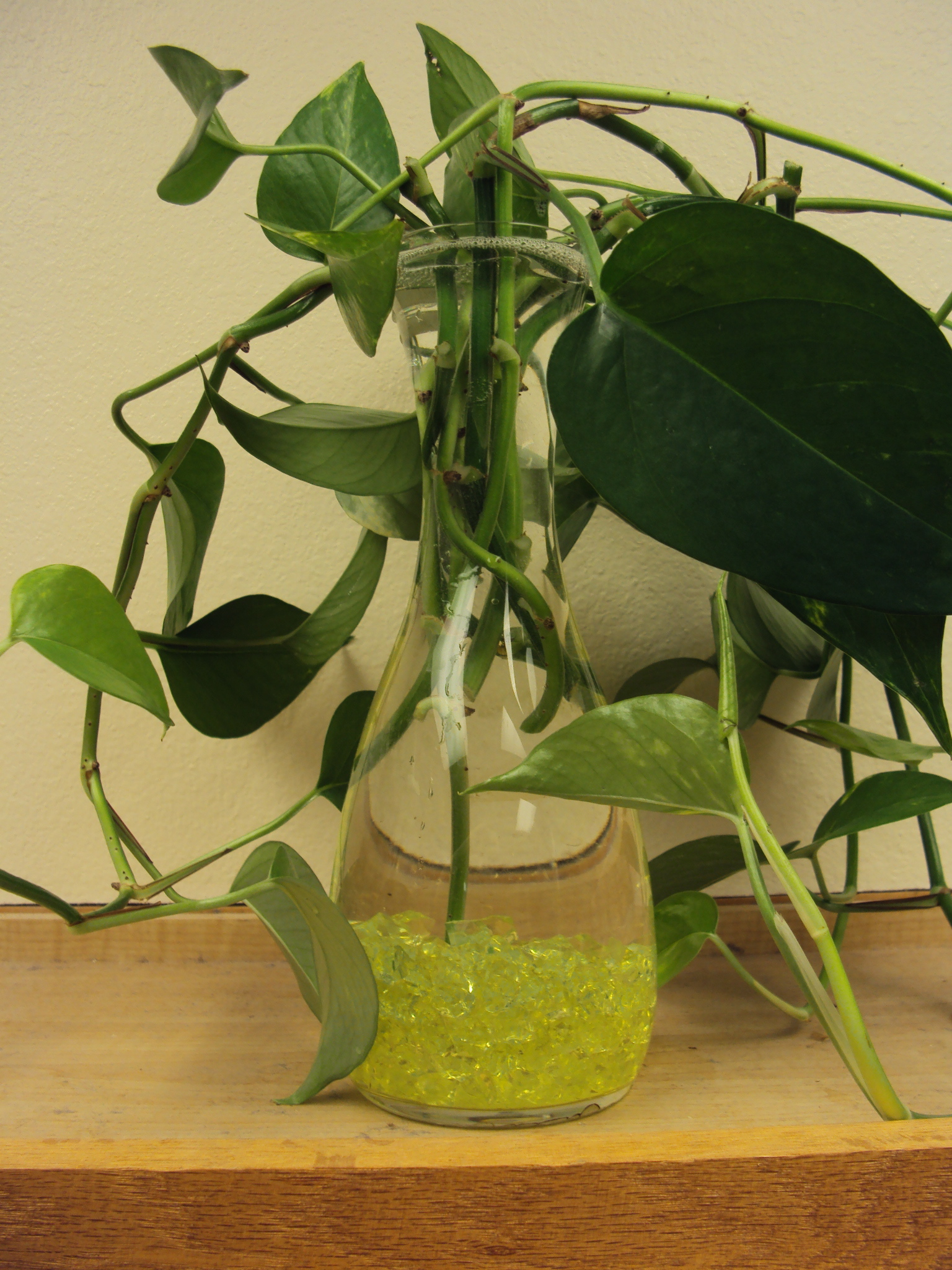 Thursday Plants 101 How To Repot A Pothos Good To Grow