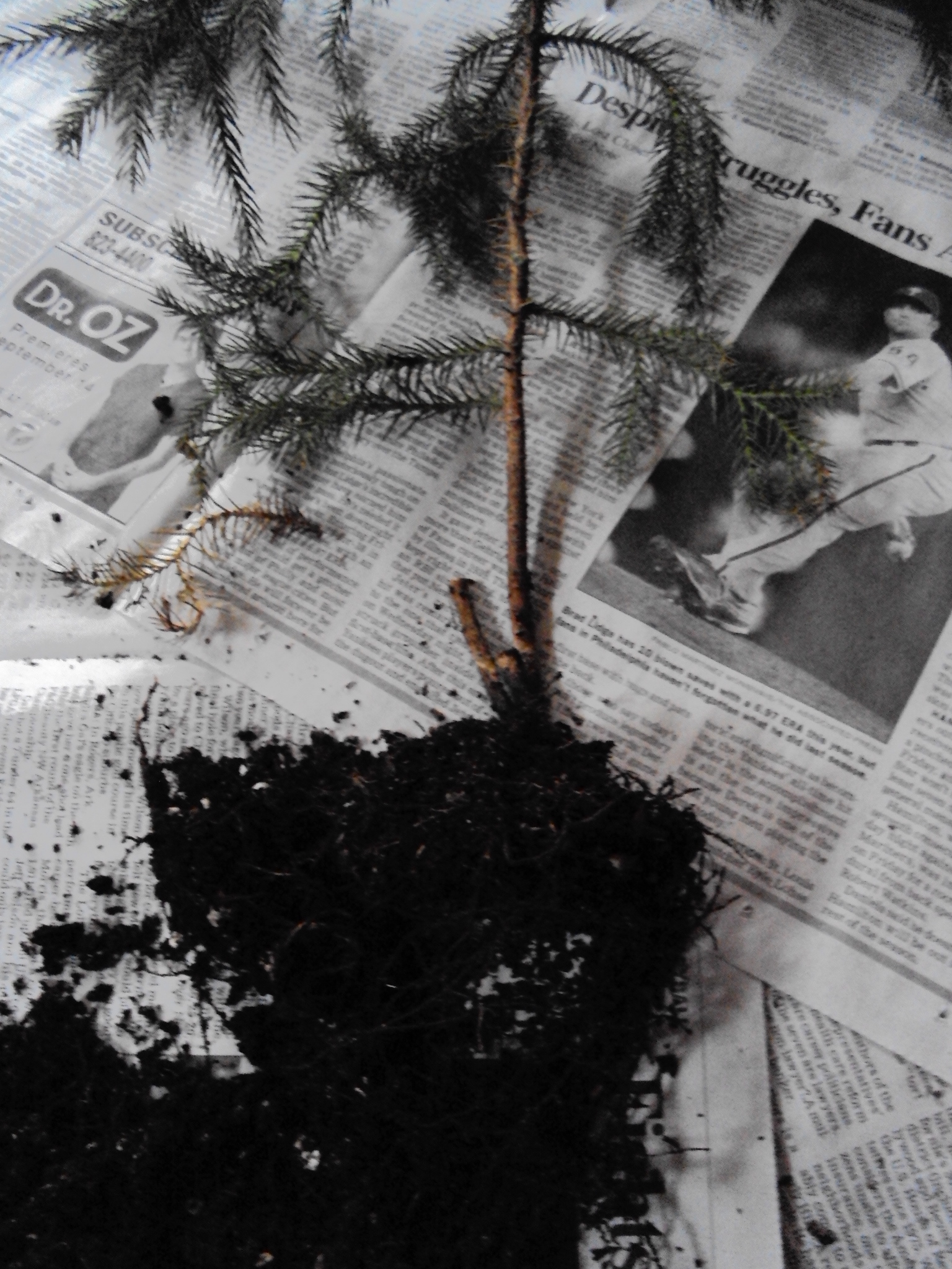 Repotting Norfolk Island Pine