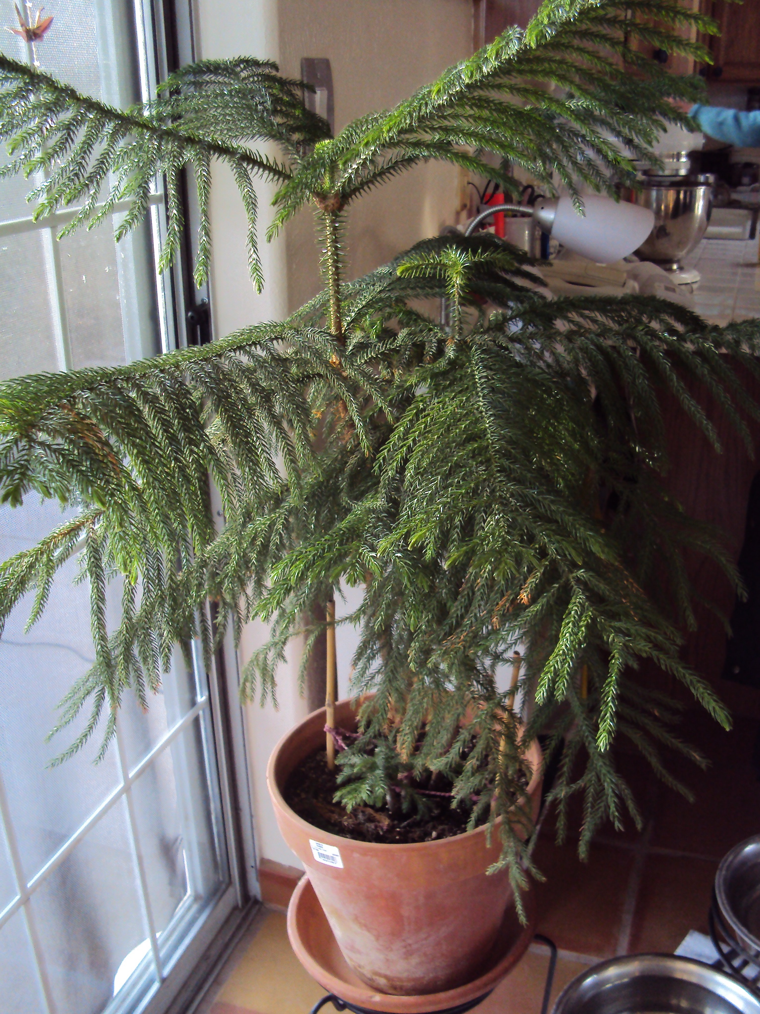 Norfolk Island Pines Good To Grow