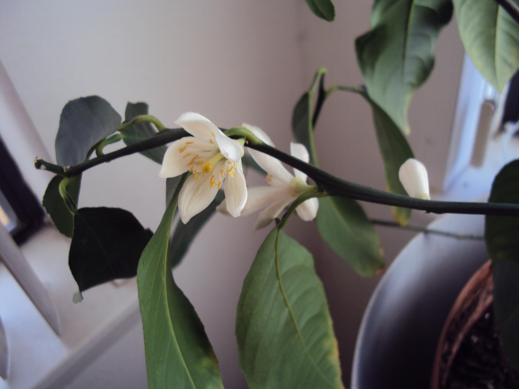 How to repot a schefflera good to grow - Good indoor plants ...