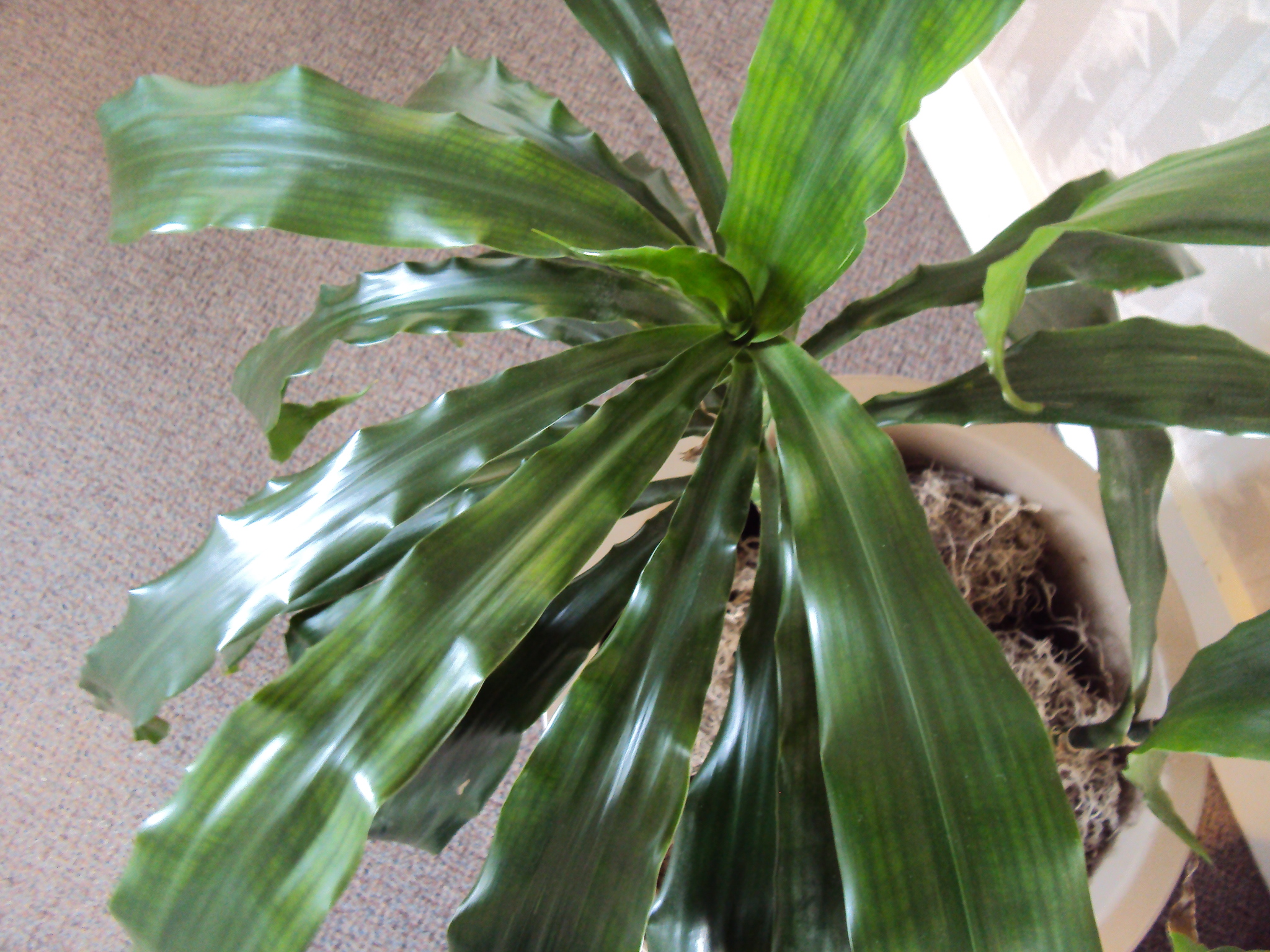 Wednesday the plant lady chronicles how to clean and shine houseplant leaves good to grow - Big leaf indoor plants ...
