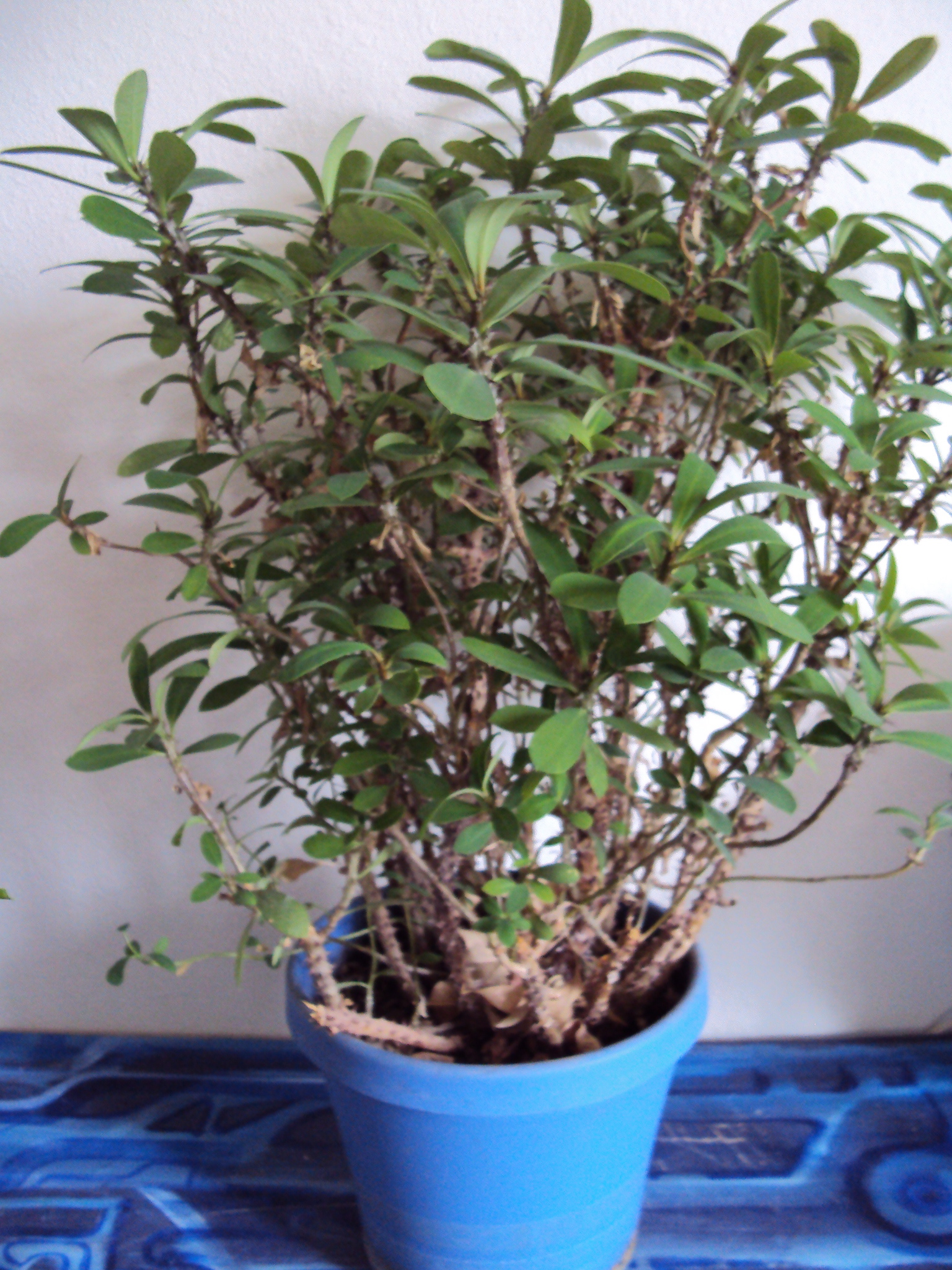 How To Prune A Crown Of Thorns Plant