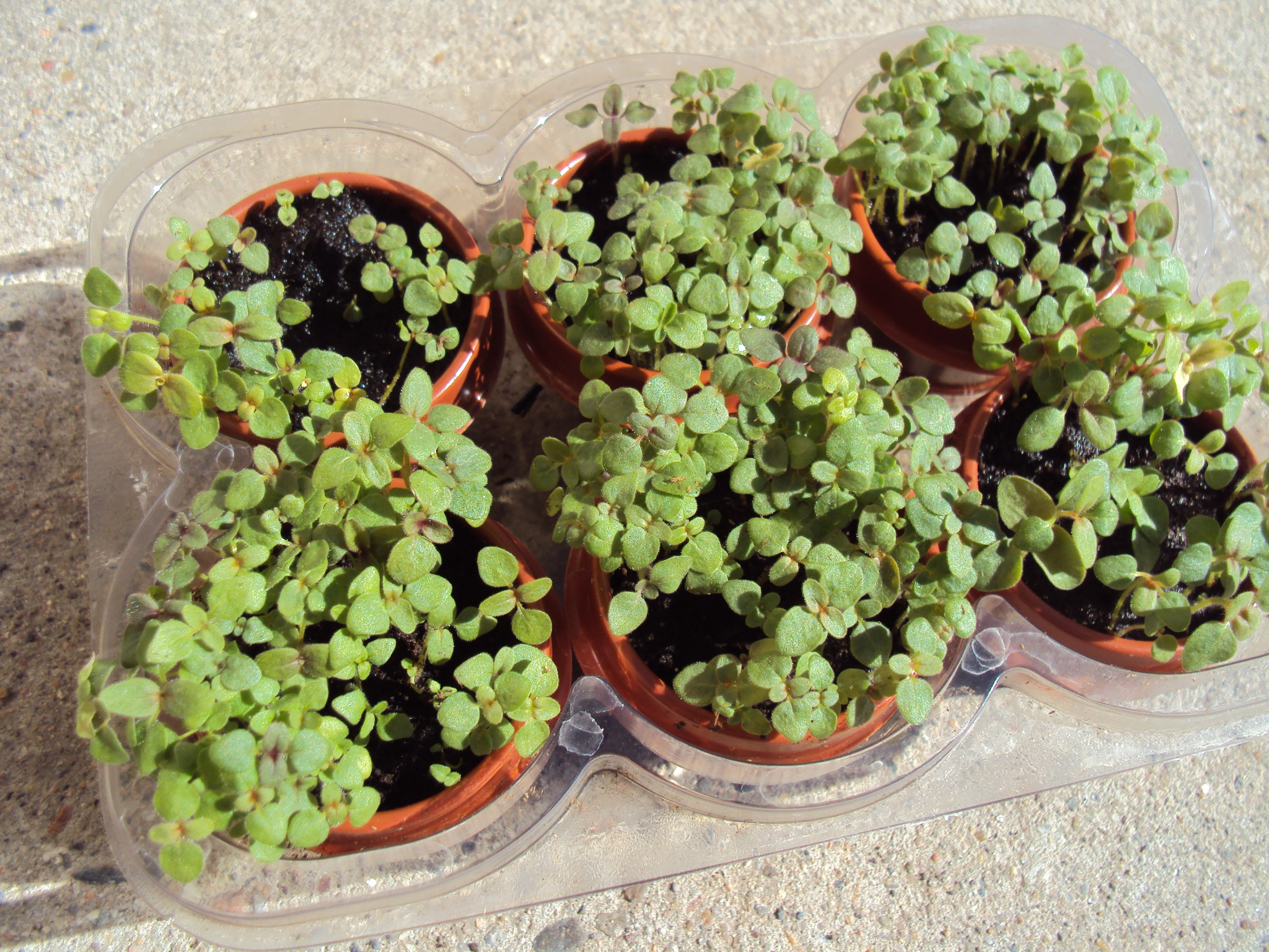 How to Grow Snapdragons Organically  Planet Natural