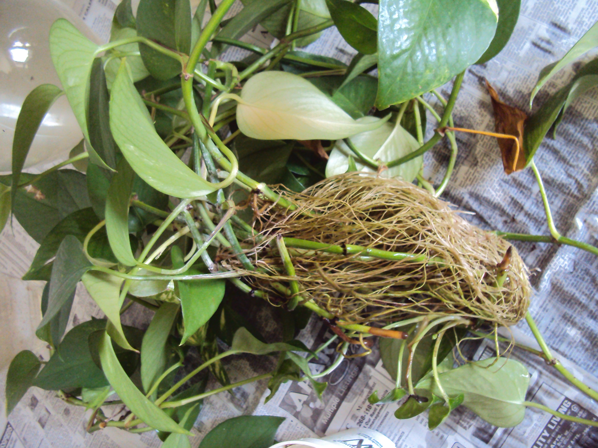 Wednesday the plant lady chronicles a pothos surplus for Plants that live long