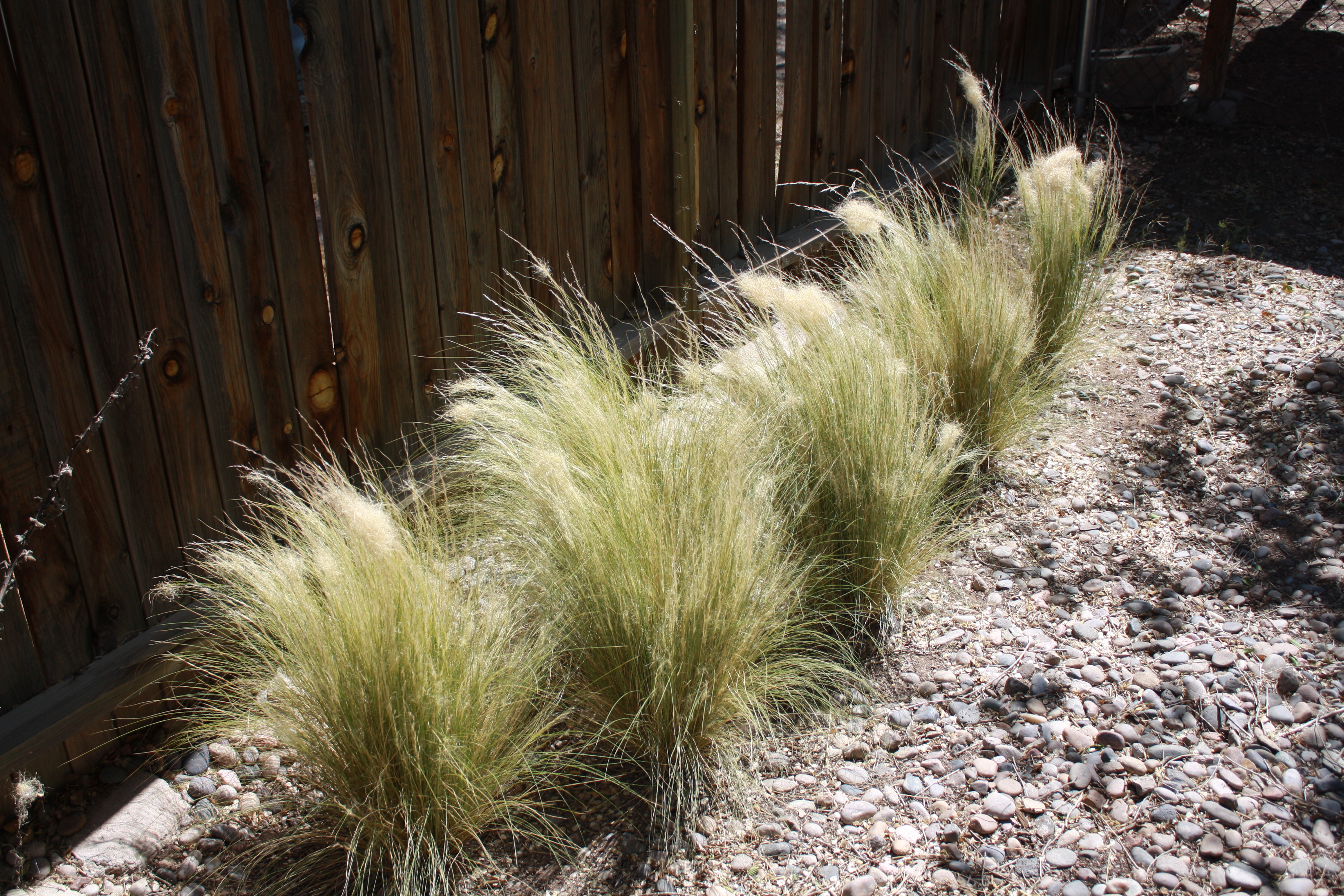 Mexican Feather Grass Good To Grow