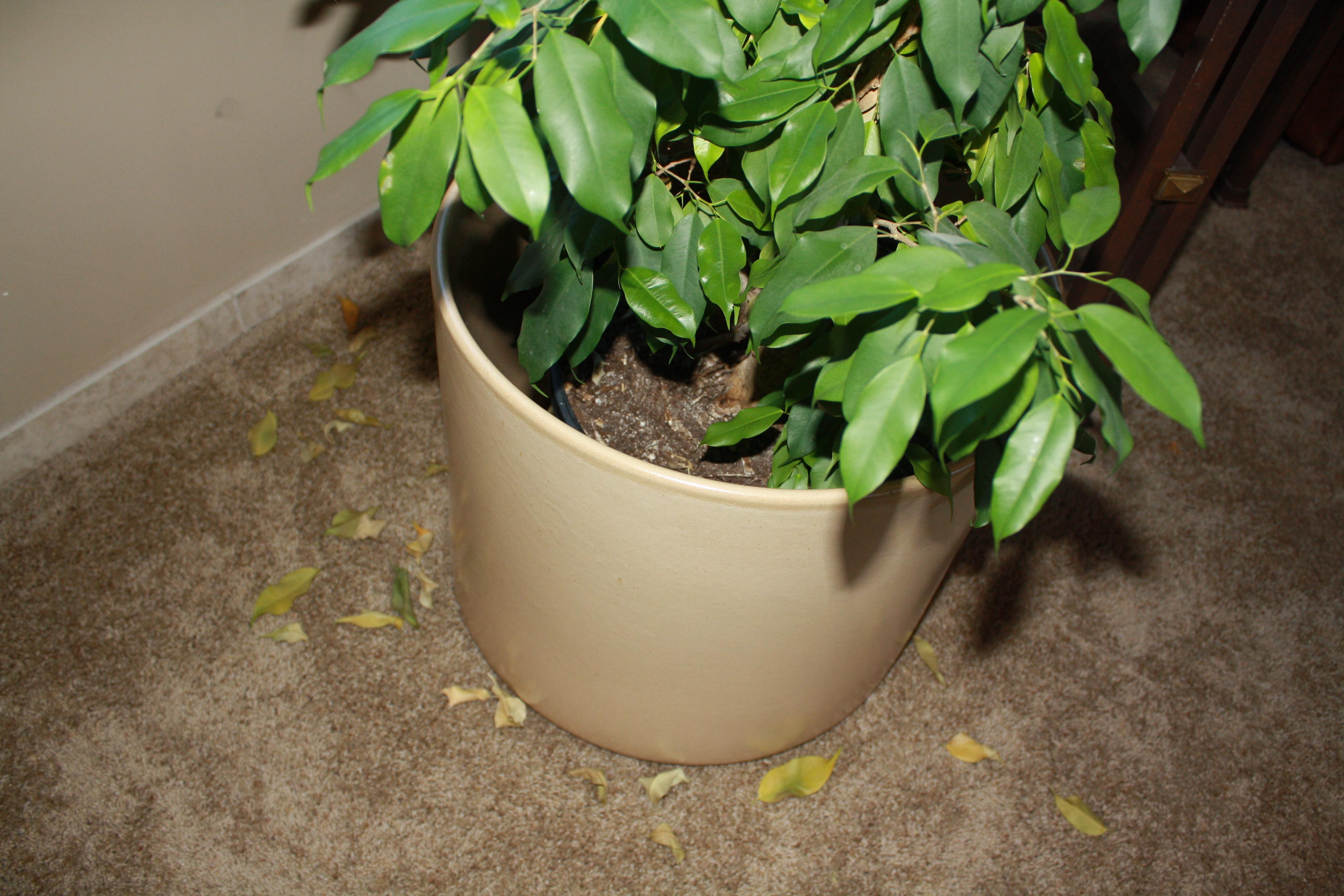 Опадают листья фикус уход в домашних условиях