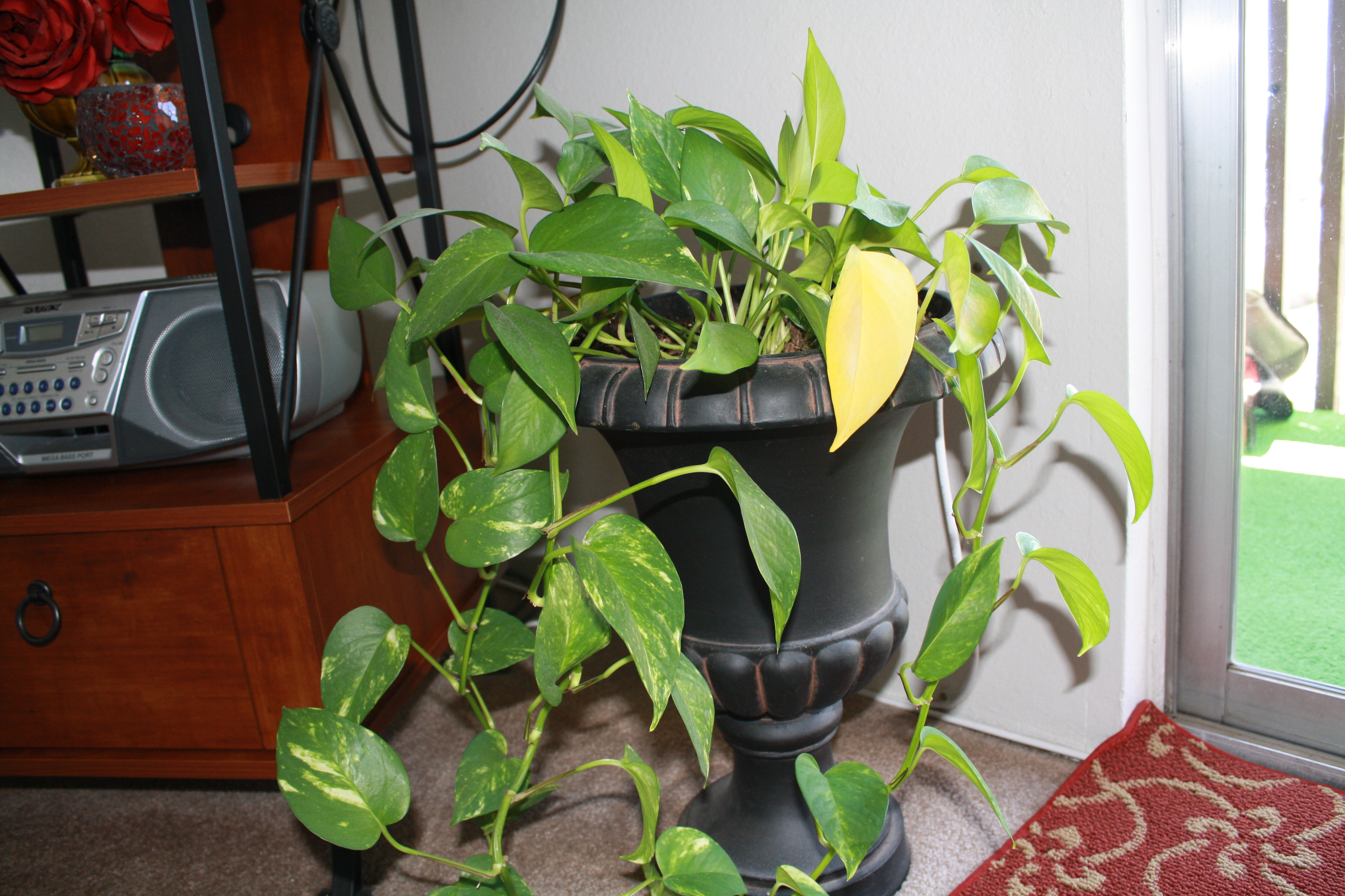 Other People's Houseplants | Good To Grow on yellow and green interior design, yellow and green evergreen, yellow and green tree, yellow and green tomatoes, yellow and green garden, yellow and green vine, yellow and green food, yellow and green grass, yellow and green herbs, yellow and green perennial, yellow and green hedge,