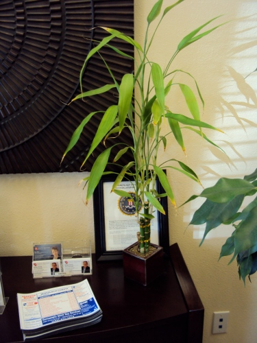 lucky bamboo plants good to grow. Black Bedroom Furniture Sets. Home Design Ideas