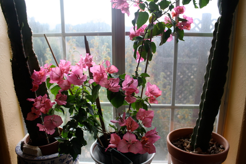 Miss Priss the Bougainvillea, Good To Grow, Liza's plants