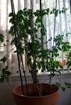 Miss Priss the Bougainvillea, Good To Grow, Liza'splants