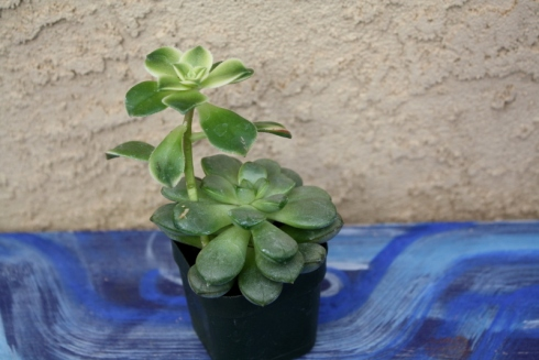 how to repot a succulent good to grow. Black Bedroom Furniture Sets. Home Design Ideas