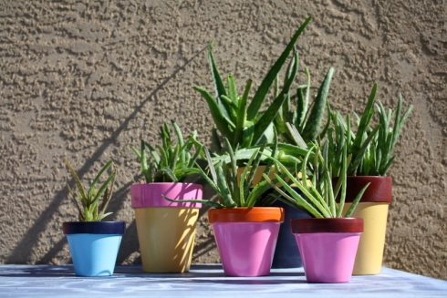 how to repot an aloe plant good to grow. Black Bedroom Furniture Sets. Home Design Ideas