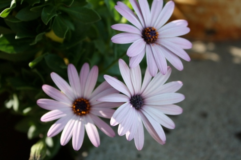 Good To Grow, Liza's photos, How To Collect Osteospermum Seeds