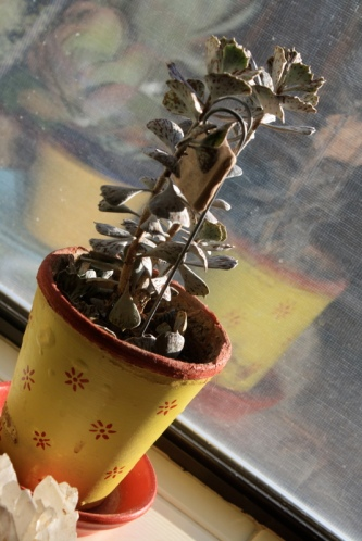 Good To Grow, Liza's plants, Kalanchoe offshoots
