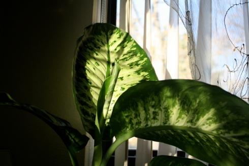 Good To Grow, Liza's plants, Danny Dieffenbachia