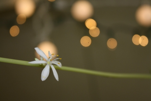 Good To Grow, Liza's photos, Chlorophytum comosum flower