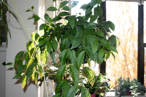 Good To Grow, Liza's photos, Aeschynanthus leaves are purty