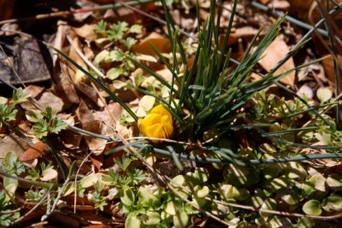 Good To Grow, Liza's photos, first Crocus of the spring season