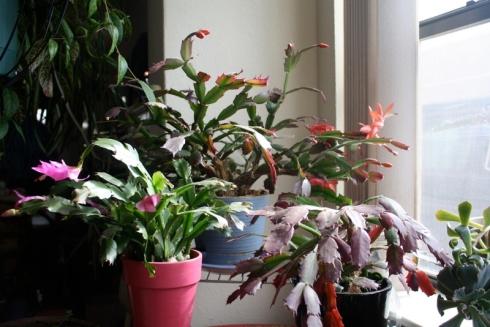 Good To Grow, Liza's plants, Dottie's Sclumbergera