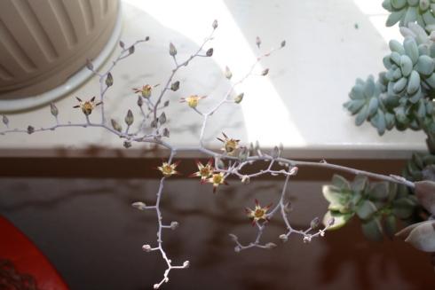 Good To Grow, Liza's photos, Graptoveria blooms