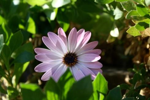 Good To Grow, Liza's photos, liberated Osteospermums