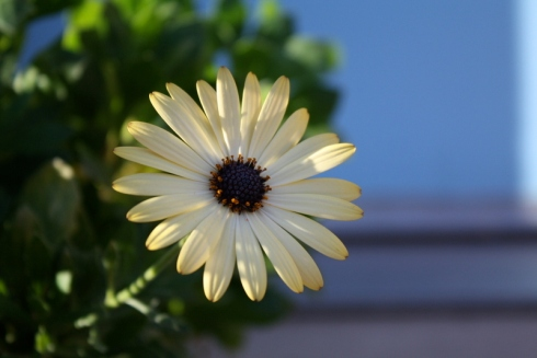 Good To Grow, Liza's photos, liberated Osteospermums