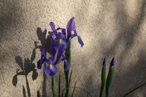 Good To Grow, Liza's photos, pretty blue Iris