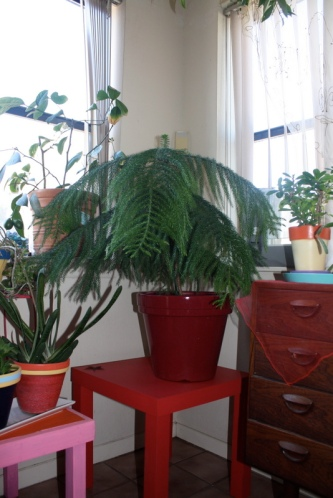Good To Grow, Liza's photos, Peach a Norfolk Island Pine