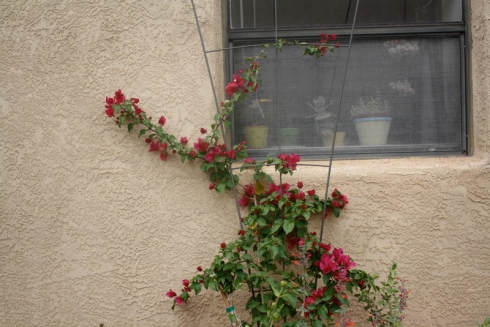 Good To Grow, Liza's photos, Bougainvillea love