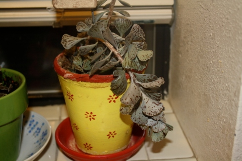 Good To Grow, Liza's photos, Kalanchoe gone haywire