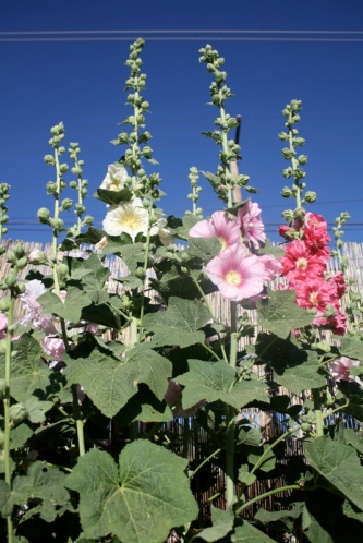 Good To Grow, Liza's photos, pretty hollyhocks