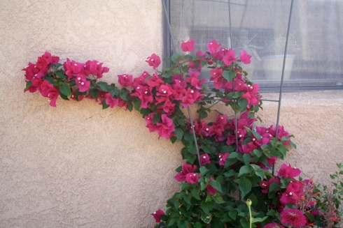 Good To Grow, Liza's photos, Bougainvillea by my back door