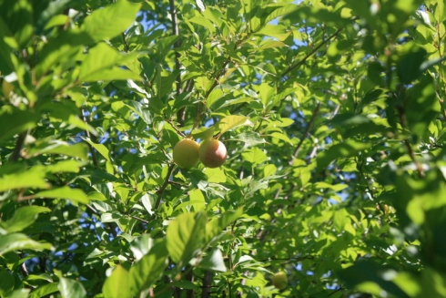 Good To Grow, Liza's photos, Plums ripening in the morning light