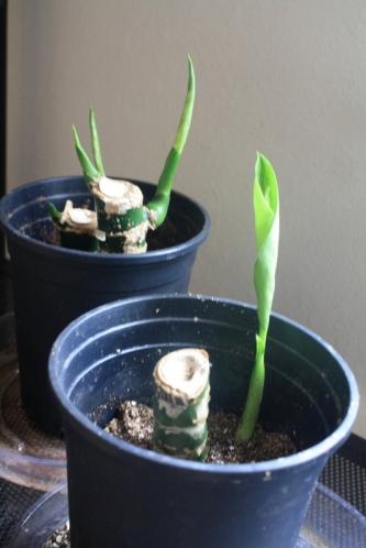 Good To Grow, Liza's photos, Danny a Dieffenbachia
