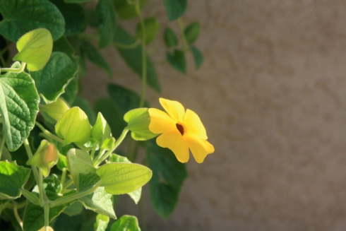Good To Grow, Liza's photos, Thunbergia in the morning light