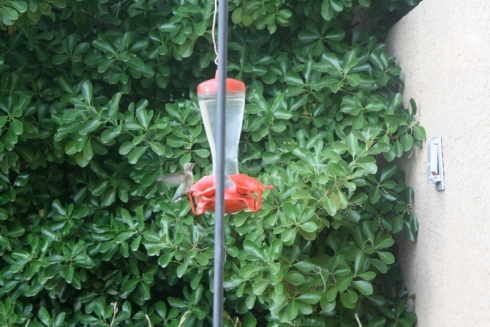 Good To Grow, Liza's photos, fun with hummingbirds