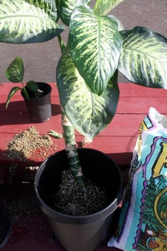 Good To Grow, Liza's photos, Danny the Dieffenbachia