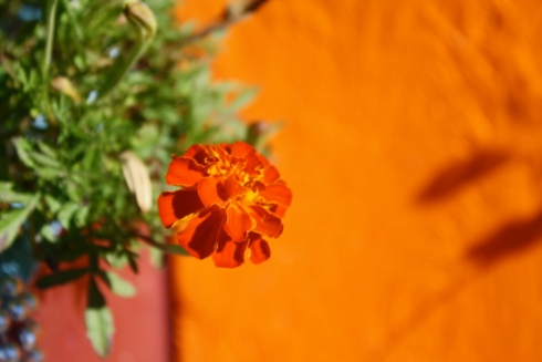 Good To Grow, Liza's photos, Marigold Love