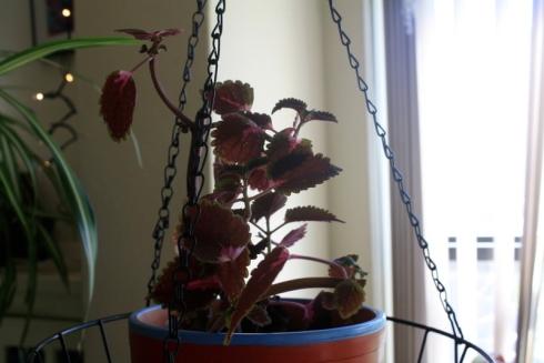 Good To Grow, Liza's plants, Coleus as a houseplant