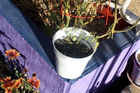 Good To Grow, Liza's plants, tomatoes indoors