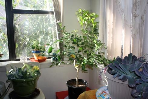 Good To Grow, Liza's photos, my new lemon tree